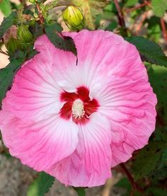 Hibiscus 'Tie Dye' PP 24,078|Walters Gardens, MI|Walters Gardens