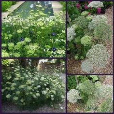 Buy Cenolophium denudatum (Baltic Parsley): Garden Plants Direct from PlantsToPlant Bee Friendly Plants, Parsley, Garden Plants, Hydrangea, White Flowers, Perennials, Garden Design, Wedding Decorations, Herbs