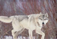 Grey Wolves, Wolf Life, Wolf Stuff, Wild Animals, Cute Dogs, Husky, Survival, Creatures, Image