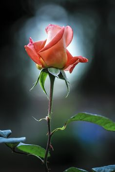 For yourózsaszin rózsa All Flowers, Amazing Flowers, Beautiful Roses, Beautiful Flowers, Photo Rose, Love Rose, Flower Pictures, Flower Wallpaper, Rose Buds