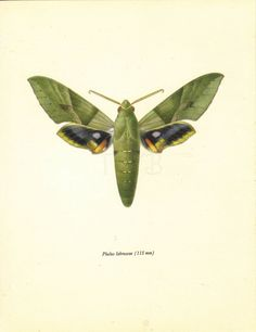 Moth Print, 1960s Butterfly Art Print, Home Decor, Vintage Illustration to Frame, Entomology, Pholus Labruscae, A-1