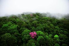 pink ebony tree French Guiana Caribbean