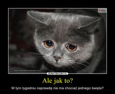 Create funny memes with our sad cat meme generator - (top funny sad cat memes! Sad Cat Meme, Funny Cat Memes, Funny Cats, Funny Animals, Funniest Animals, Baby Animals, Cat Club, Cat Whisperer, F2 Savannah Cat