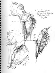 LOTS and LOTS of references and how to's, drawing and painting tuts on at this site!!! North American Bird Sketches | North American Bird Sketches | Drawing The Motmot | If you're looking for an archive/library of: art, artist development, drawing tutorials, how to, references, concepts, models, anatomy, illustrations, bird, birds animal, animals. Find more at https://www.facebook.com/CharacterDesignReferences