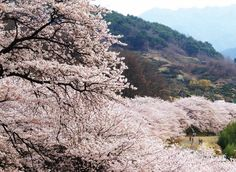 Hwagae Cherry Blossoms Festival - April, Hadong-gun Hwagae-myeon,   Tea Cultural Center area