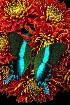 Green blue butterfly (macro,photography,butterfly,red,white,flowers,colorful,green,blue,beautiful,nature,summer)