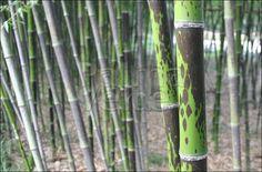 "Phyllostachys bambusoides ""Tanakae"" – Phyllostachys bambusoides ""Mixta"""