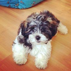 Sweet Arne #shichon #puppy