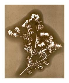 Lumen print of Cilantro Coriander on  expired Kodak Veribrom paper.