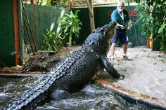 A man says the world biggest crocodile is lurking in Northern Queensland. The crocodile is said to be over 9 metres long. But a female crocodile hunter says she think there would be proof of its existance Knysna, Saltwater Croc, Crocodile Dundee, Dangerous Animals, Marine Aquarium, Types Of Animals, Bad Cats, Australian Animals, Exotic Fish