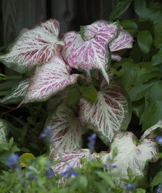 15 Impossible-To-Kill Outdoor Plants Caladium: This Plants Arrowhead-Shaped Leaves Are Readily Found In Shades Of Red, Pink, And White, So You Can Coordinate This Pick With The Other Plants In Your Garden. Shade Garden Plants, House Plants, Shaded Garden, Dry Garden, Summer Plants, Garden Path, Water Garden, Air Plants, Flowers Perennials