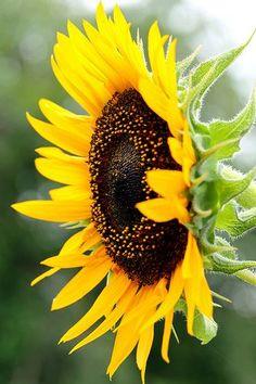 Sunflower Flowers Garden Love