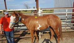9380 - 3 yr old sorrel paint gelding, 14.1 hh. Broke to ride and very gentle. Price: $550 PayPal - mcbarronhorses@yahoo.com - choose Goods & Services option, and include the assigned # of the equine you're purchasing. Also be sure to include your name, email address, and phone #. Echecks not accepted. Location: Kaufman County, Texas (Forney) Shipping Deadline: Sunday, Oct 4th - 4 pm