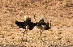 A couple of #ostriches roaming around @ Kgalagadi Transfrontier Park in South Africa. See our #Kgalagadi travel guide: http://www.safaribookings.com/kgalagadi