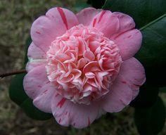 "Camellia japonica ""Tinker Bell"""