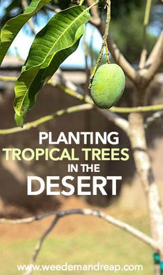 Planting Tropical Trees in the Desert | Weed 'Em and Reap