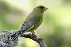 viherpeippo - Google Search Exotic Birds, Bird Houses, Natural Beauty, Scenery, Europe, Google Search, Nature, Pictures, Life