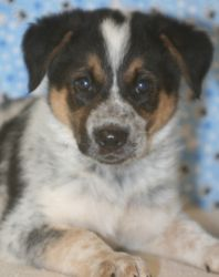 Sarge is an adoptable Australian Cattle Dog (Blue Heeler) Dog in Neillsville, WI.  $125 Adoption Fee includes Distemper vaccination, Bordetella vaccination, deworming, microchip and ID tag. Dogs and p...