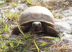 Gopher Tortoise at Honeymoon Island