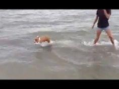Corgi Water Hop - I want one!!!