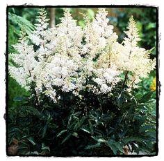 Rock & Roll Astilbe  ~ See the Plant Information Index for more details at kieferlandscaping.com