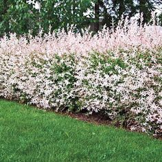 Tri-Color Dappled Willow Tri Colored Willow is the newest willow hedge tree quickly fills into a beautiful screen It's a willow tree, so you know it's easy to grow and maintain. These fast growing trees rapidly mature to a height of 10 ft. Hedge Trees, Privacy Trees, Trees And Shrubs, Privacy Shrubs, Privacy Hedges Fast Growing, Flowering Shrubs, Best Trees For Privacy, Privacy Fences, Fencing