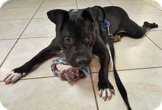 Hi there, my name is Tru! I am a young, neutered male pup who weighs about 45 lbs. My birthdate is March 20, 2015. I am such a wonderful dog. I love people. I am friendly, affectionate and playful. I also love other dogs and playtime is one of my favorite times. I am housetrained and crate trained. I really like kids and I don't jump up on them. I had a family once, but my owner took me to the county shelter when he didn't want to pay for my needs. $75