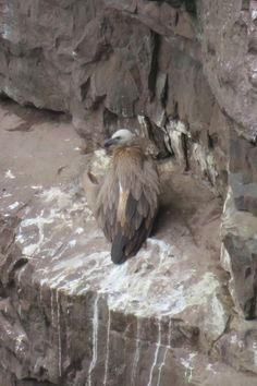 Nid de vautour, Pays Basque Bald Eagle, Animals, Vulture, Basque Country, Nest, Animales, Animaux, Animais, Animal