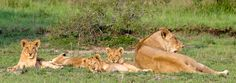 Sabi Sabi Private Game Reserve, South Africa - #travel #Africa #lions