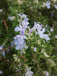 Flores del romero rastrero