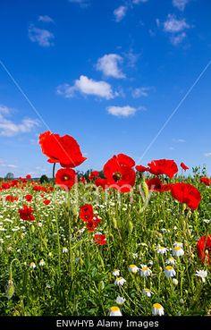 #Poppy #Field @Alamy #Alamy #lanscape #nature #season #spring #summer #flowerpower #flowers #austria #burgenland #bluesky #colorful #colors #red #blue #green #stock #photo #portfolio #download #hires #royaltyfree