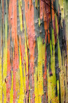 Eucalyptus deglupta | Eucalyptus deglupta Stuart Claggett EOL