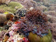 Clown fish and anemone, Komodo