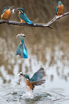kingfisher timelapse by Péter Jancsó                                                                                                                                                      More