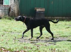 OREGON This is Lulu, a 3 1/2 year old Shepherd//German Short-haired Pointer/Black Lab mix that PAN placed at 3 months and she has just come back into rescue.  The surrendering family's  smaller dachshund had food aggression issues and when she attacked...