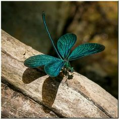 Turquoise dragonfly                                                                                                                                                      More