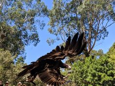 Bald Eagle, Australia, Bird, Animals, Animales, Animaux, Birds, Animal, Animais