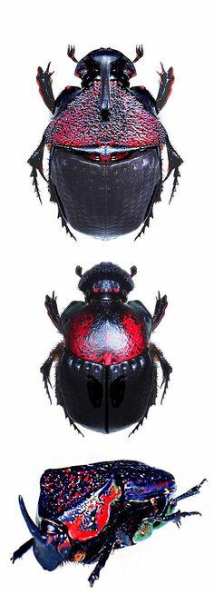 Phanaeus meleagris