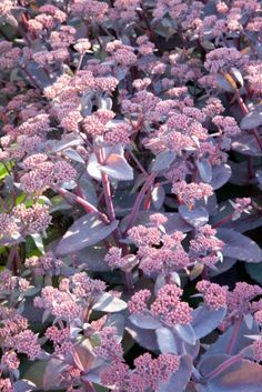 Sedum 'Karfunkelstein', Sedum Telephium- blooms aug-oct, pink blooms, foliage grows in bluish-green and turns purple in fall
