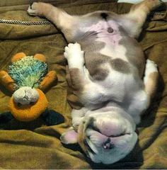 Bulldog puppy snooze time