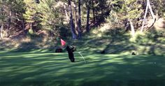 A group of young bears wandered onto the golf course at the Fairmont Hot Springs Resort in British Columbia, Canada, mistaking the flagstick for some kind of wobbly tree. The young bear played with the flagstick for quite some time before moving onto one of the players' golf ball. Not sure what they were…