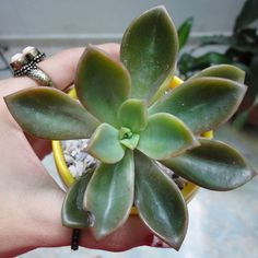 ¡Mi nueva consentida 😍😍! [Maceta + planta: @csucculent 👉👉#teamSaperes ]