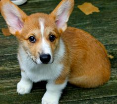 i need a corgi in my life ASAP. Robert and I are looking at one of these precious dogs..so smart and loyal!