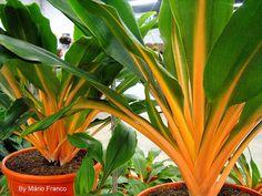 LUMINA - (Chlorophytum orchidastrum) - Beautiful orange relative of the spider plant.