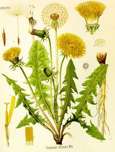 The Dandelion - I want a poster for the lounge!