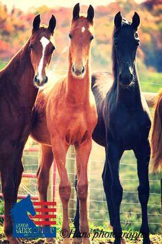 Saddlebreds!