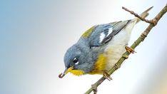 Lake Michigan, Predator, Blue Bird, Habitats, Vineyard, Wildlife, Birds, Rounding, Bird