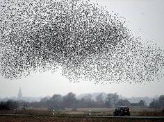 Europas größter Übernachtungsplatz für Vögel: Wenn Hunderttausende von Staren in skurrilen Formationen über die deutsch-dänische Grenze gleiten, denn staunen nicht nur Vogel- und Ballettfreunde über die schwarze Sonne....