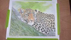 leopard resting in cp