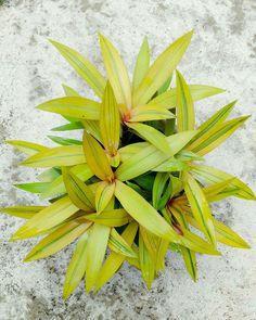Wondering Jew Plant, Gardening, Colour, Plants, Flowers, Succulents, Color, Lawn And Garden, Colors